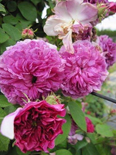 Kletterrose Russeliana XL - Rosa Russeliana - violettrot - Ramblerrose - Großpflanze - mehrjährige Solitärrose