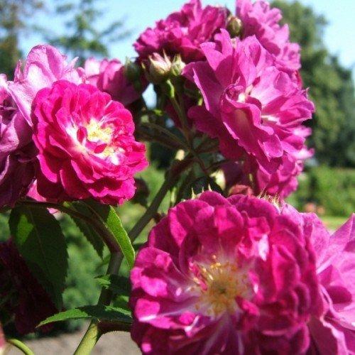 Perennial Blue ADR Kletterrose Ramblerrose