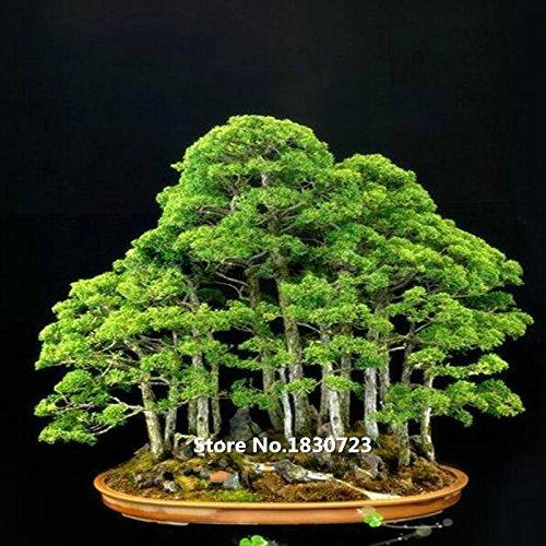 50 Wacholder Bonsai-Baum-Samen Topfblumen Büro Bonsai reinigen die Luft absorbieren schädliche Gase
