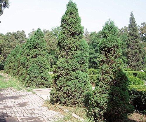 Chinesische Wacholder Juniperus chinensis Baumsamen - USA - Bonsai 152550100