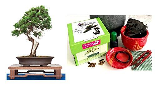 Exklusive Komplette Bonsai Anzuchtset chinesische Wacholder-Pflanzgefäß aus Keramik Zehn Teile - Komplette Set in der Geschenkbox