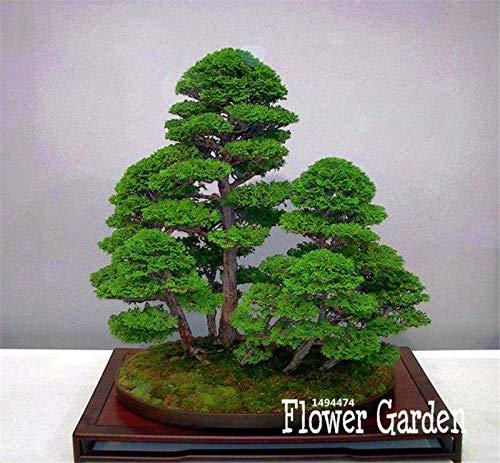 PLAT FIRM KEIM SEEDS Best-Verkauf 50 StückPack Wacholder Bonsai-Baum Topfblumen Büro Bonsai