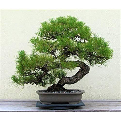 Plantree 50 Stücke Japanische Kiefer Samen Schwarz Bonsai Samen Wacholder Dekor Home Office