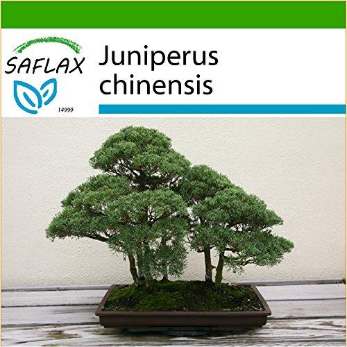 SAFLAX - Bonsai - Chinesischer Wacholder - 30 Samen - Mit Substrat - Juniperus chinensis