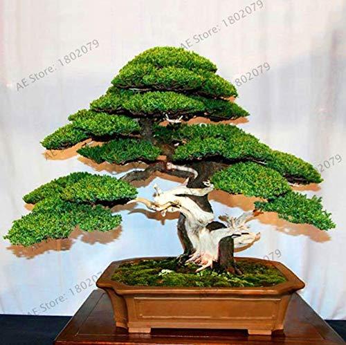 ScoutSeed 50 STÜCKE Samen Wacholder Bonsai Baum Reinigen Die Luft Absorbieren Schädliche Gase Garten NEU