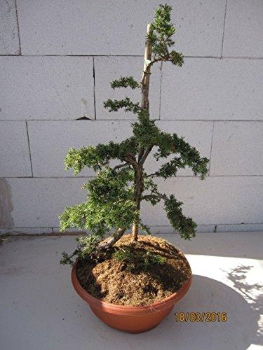 Teppichwacholder Green Carpet Formschnitt - Juniperus communis Green Carpet Bonsai
