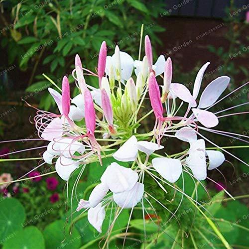 Bloom Green Co Cleome Spinosa Bonsai 30Pcs  Tasche Garten Bonsai Blumen Bonsai Cleome Spinosa Jacq Blumen Pflanzen DIY Hausgarten Bepflanzung 1