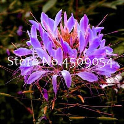 Bloom Green Co Mischfarben Cleome Spinosa Blumen Bonsai Zimmerpflanzen Garten Zierblumen und seltene Arten Bonsai Blume Bonsais 100 PC 19