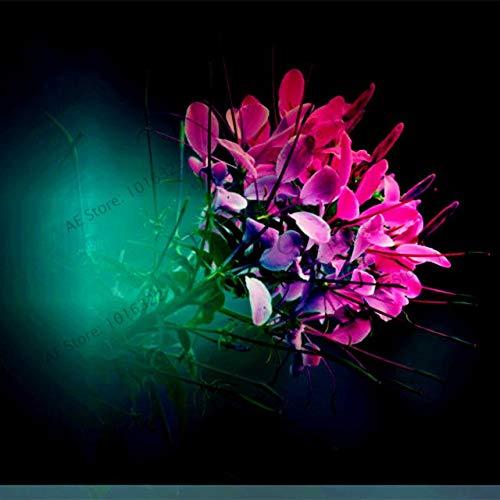 PinkdoseCleome spinosa flores Gartenblume plantas Bonsai-Anlage für den Außen- und Innen samll mittlere und große 100pcs  bag 1