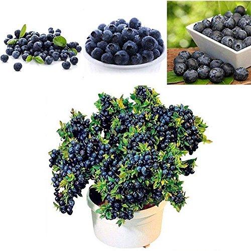 Delaman Heidelbeeren Samen Obst Saatgut Bonsai Pflanze im Garten Topfpflanzen Balkon Pflanzengeschenk 50 Stücke