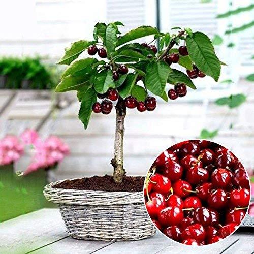 Delaman Kirschsamen Kirschsaatgut Bio Obst Bonsai im Garten Topfpflanzen Balkon Pflanzengeschenk 30 Stücke