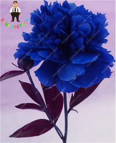 Shopmeeko Echte Chinesische Pfingstrosen blühen damit der Garten Topfpflanzen Seltener Schöner Bonsai-Baum pflanzt Innenpflanzen 10 Stück Pflaume