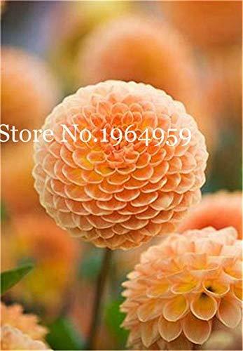 Bloom Green Co 200 Stück Rrae Riesen Allium Giganteum Bonsai Blume Lila Lauch Bio Herrliche Blumen Globemaster für Gartendekoration c