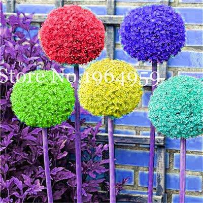 Bloom Green Co 200 Stück Rrae Riesen Allium Giganteum Bonsai Blume Lila Lauch Bio Herrliche Blumen Globemaster für Gartendekoration d