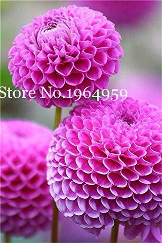 Bloom Green Co 200 Stück Rrae Riesen Allium Giganteum Bonsai Blume Lila Lauch Bio Herrliche Blumen Globemaster für Gartendekoration h