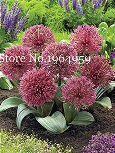 Bloom Green Co 200 Stück Rrae Riesen Allium Giganteum Bonsai Blume Lila Lauch Bio Herrliche Blumen Globemaster für Gartendekoration j