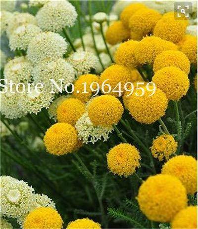 Bloom Green Co 200 Stück Rrae Riesen Allium Giganteum Bonsai Blume Lila Lauch Bio Herrliche Blumen Globemaster für Gartendekoration o