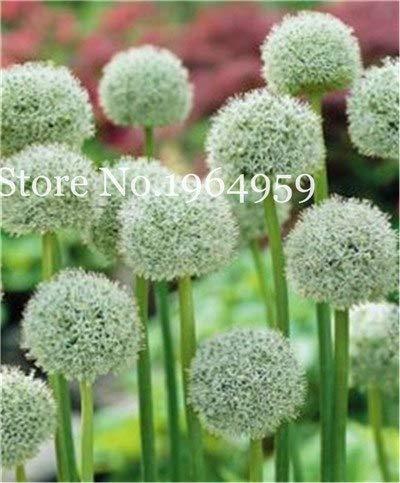 Bloom Green Co 200 Stück Rrae Riesen Allium Giganteum Bonsai Blume Lila Lauch Bio Herrliche Blumen Globemaster für Gartendekoration x