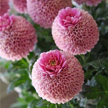 Pets Delite Riesen Allium Giganteum Globemaster Schöne Blumensamen Garten Pflanzensamen Bonsai Topf - 100 Stücke - 1