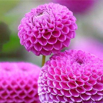 Pets Delite Riesen Allium Giganteum Globemaster Schöne Blumensamen Garten Pflanzensamen Bonsai Topf - 100 Stücke - 2