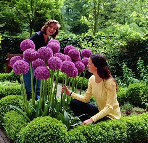 UPSTONE Garten - Riesen Zierlauch Sternkugel Lauch Allium giganteum Blumenlauch mehrjährig winterhart 100 Rot globemaster