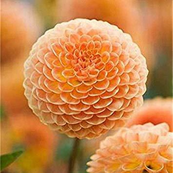 Visa Store 3 Davitu 100 STÜCKE Riesen Allium Giganteum Globemaster Schöne Blumensamen Garten Pflanzensamen Bonsai Topf - Farbe 3