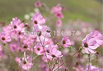 Vistaric 20 Giant Allium Globemaster Allium Giganteum Blumensamen ~ wunderschöne Bio-Blume Einfach wachsend lange blühend