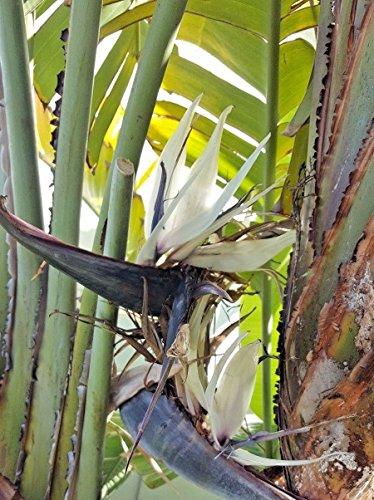 10 Samen von Strelitzia Nicolai Weißer Paradiesvogel