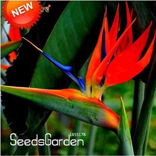 PLAT FIRM KEIM SEEDS 100 graines - oiseau de paradis - Strelitzia nicolai