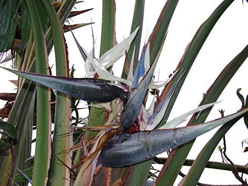 Strelitzia NicolaiBunte Paradiesvogelblume 1000 Samen Bird of Paradise