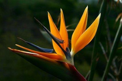 Strelitzia Nicolai Paradiesvogelblume 50 Samen