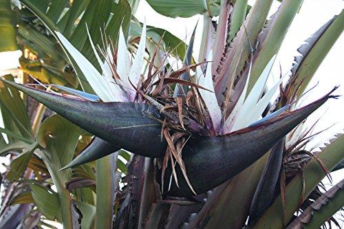 Strelitzia nicolai weisse Paradiesvogelblume Strelitzie 10 Samen