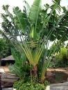 weisse Paradiesvogelblume - Strelitzia nicolai - 5 Samen