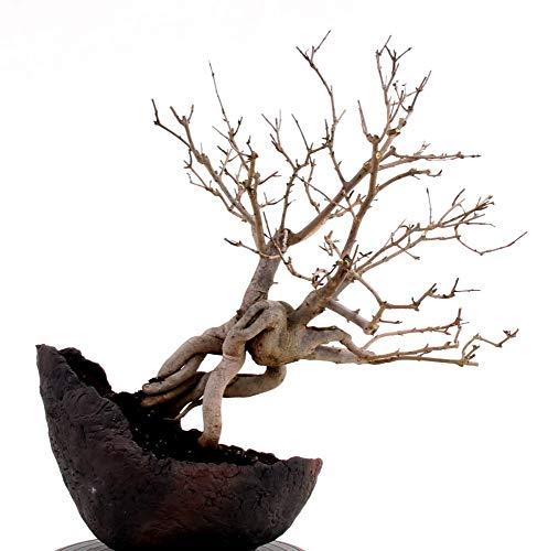 Bonsai - Punica granatum nana Granatapfel 19241