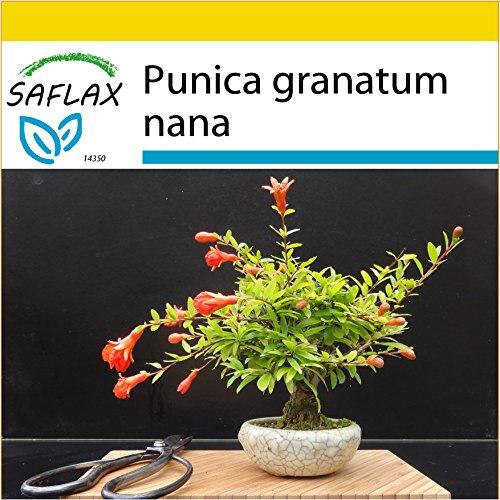SAFLAX - Anzucht Set - Bonsai - Zwerg-Granatapfel - 50 Samen - Punica granatum nana