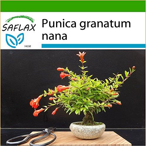 SAFLAX - Bonsai - Zwerg-Granatapfel - 50 Samen - Mit Substrat - Punica granatum nana