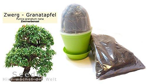 Seedeo Bonsai Anzuchtset Zwerg-Granatapfel Punica granatum nana