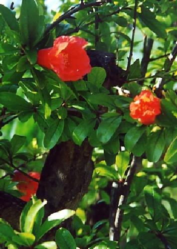 TROPICA - Zwerg - Granatapfel Punica granatum nana - 50 Samen