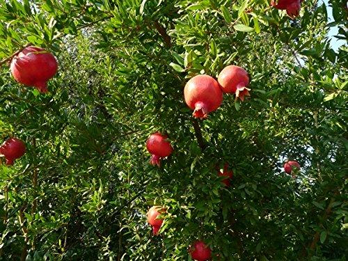 Zwerg Granatapfelkerne - Punica granatum var Nana - samen