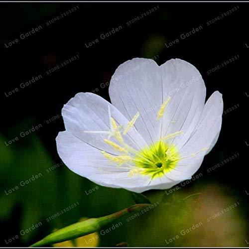 Bloom Green Co Oenothera biennis Bonsai 100Pcs Nachtkerze Can Extraktion von ätherischem Öl Aromatische Pflanzen Bonsai Easy Growing Bonsai 2
