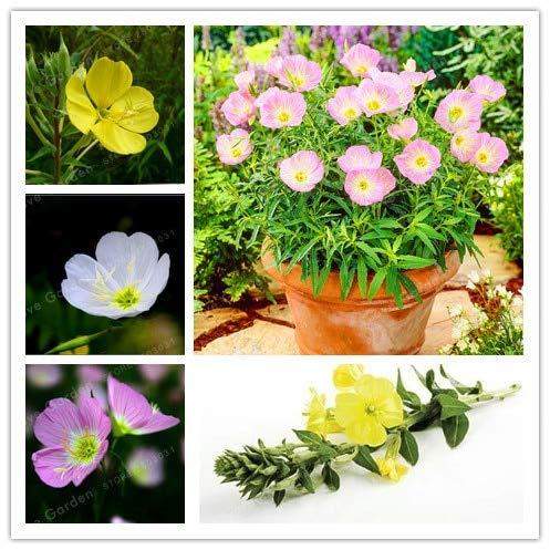 Bloom Green Co Oenothera biennis Bonsai 100Pcs Nachtkerze Can Extraktion von ätherischem Öl Aromatische Pflanzen Bonsai Leicht Bonsai Growing MIX