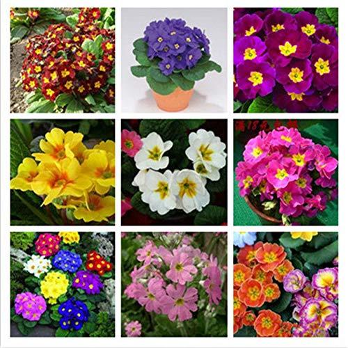 Go Garden 100Pcs Primrose Blumen-Samen-Mix Oenothera Biennis Pflanze Zier Bonsai Garden