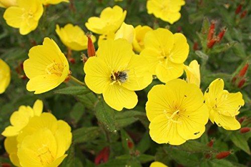 Nachtkerze - Oenothera biennis - Blume - 500 Samen