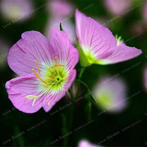 Pinkdose Oenothera biennis Bonsai 100Pcs Nachtkerze Can Extraktion von ätherischem Öl Aromatische Pflanzen Bonsai Leicht Growing Bonsai 1