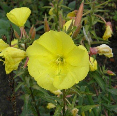 lichtnelke - Große Nachtkerze Oenothera biennis gelb