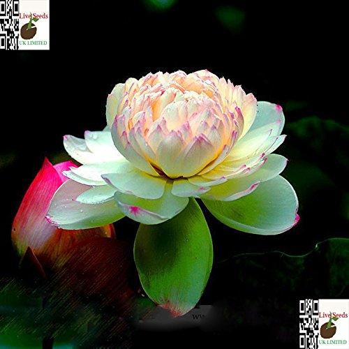Bi-Farbe  Rosa und Gelb Bonsai Lotus  Wasser Lily Blume Bowl-Pond5 Frische Samen  Philippines Gold