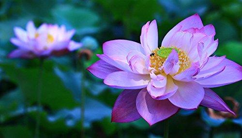Bonsai Lotus  Wasser Lily Blume Bowl-Pond 5 Frische Samen  Lila Lotus