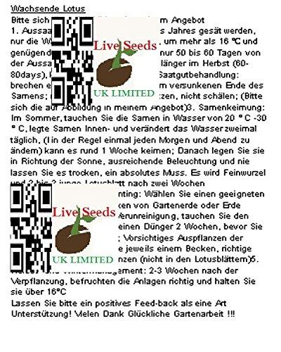 Bonsai Lotus  Wasser Lily Blume Bowl-Pond 5 Frische Samen  Magenta Lotus