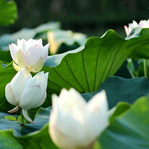 Bonsai Lotus  Wasser Lily Blume Bowl-Pond 5 Frische Samen  Weiß Lotus