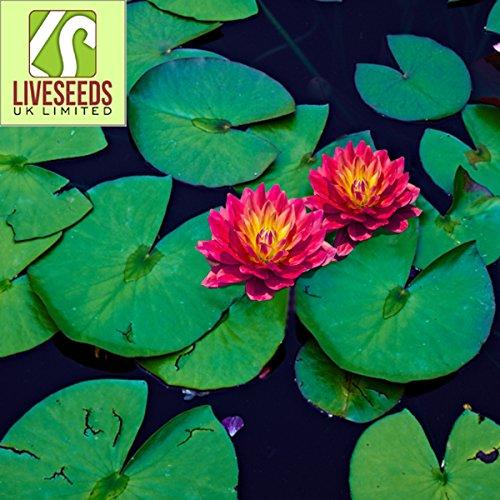 Liveseeds - Mini Feuer rot Bonsai Lotus  Wasser Lily Blume  5 frische Samen